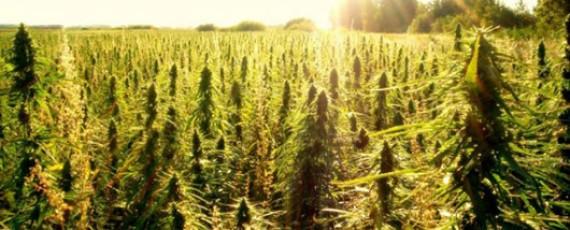 Online cannabis courses