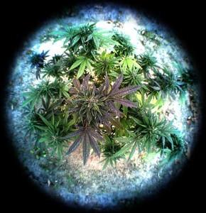 institute for marijuana
